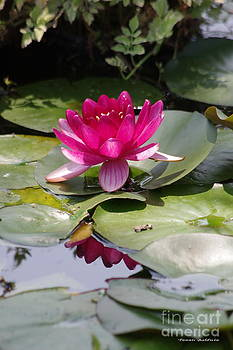 Pink Water Lily by Tannis  Baldwin