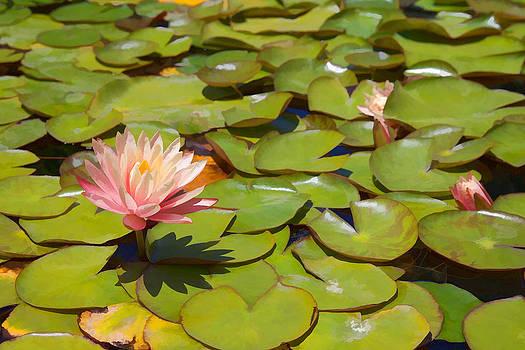 Cliff Wassmann - Pink Waterlilies in Koi Pond