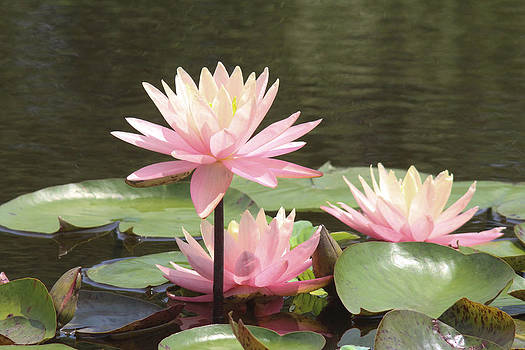 Pink waterlilies by Jill Bell