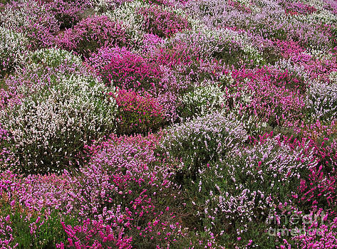 Pink white and Purple bushes blossom by Kiril Stanchev