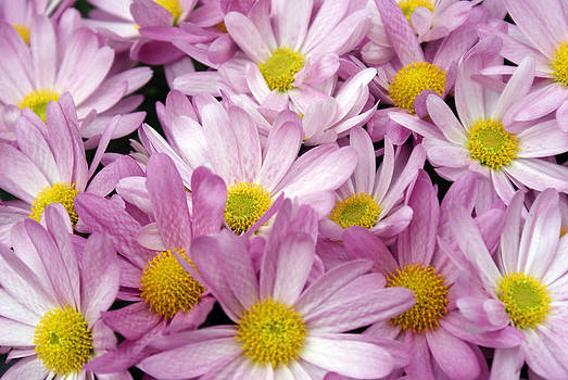Pink White and Yellow Flowers by Fabian Cardon