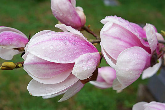 Baslee Troutman - Pink White Wet Raindrops Magnolia Flowers