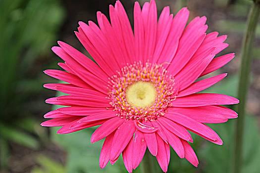 Pinks A Daisy by Sarah E Kohara