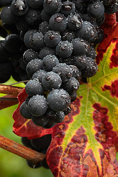 Pinot Noir grapes in the rain by Charles Lupica