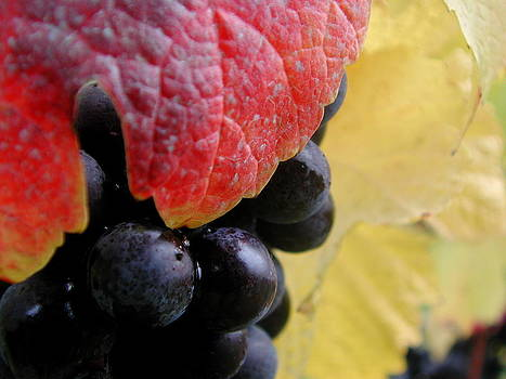 Pinot Noir Grapes by Mamie Gunning