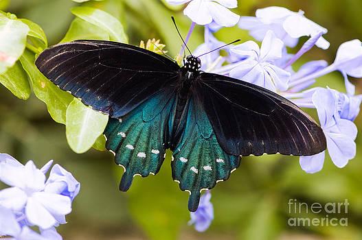 Oscar Gutierrez - Pipe vine swallowtail butterfly