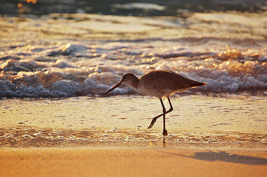 Rebecca Brittain - Piper in Surf at Sunset Florida Beach Bird