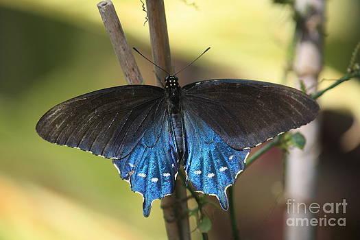 Danielle Groenen - Pipevine Swallowtail Butterfly