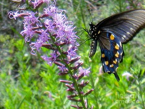 Pipevine Swallowtail Butterfly by Maureen Cavanaugh Berry