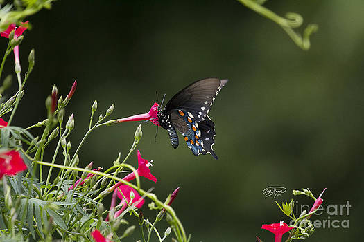 Pipevine Swallowtail by Cris Hayes