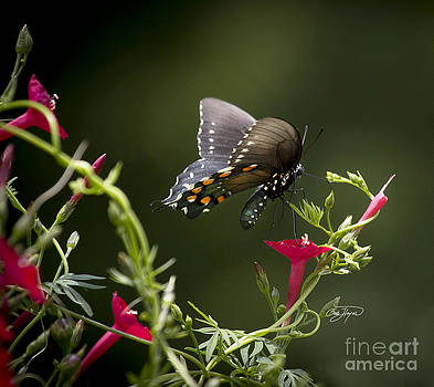 Pipevine Swallowtail  II by Cris Hayes