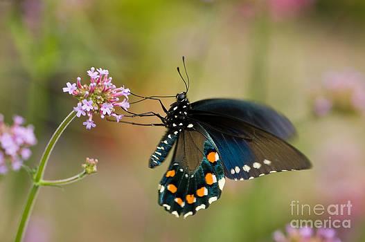 Oscar Gutierrez - Pipevine Swallowtail