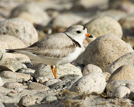 Piping Plover Adult by Deborah  Smith