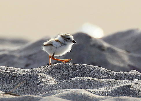 Piping Plover Chick by Henry Gray