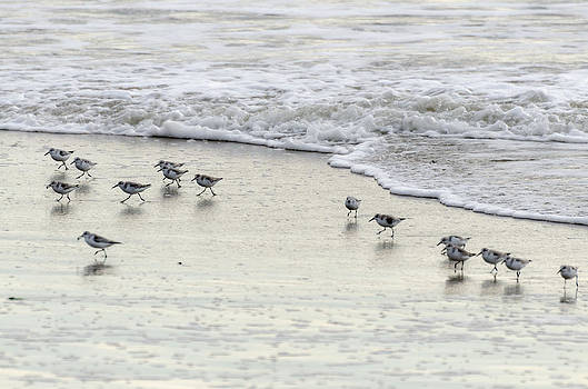 Piping Plovers at Water's Edge by Maureen E Ritter