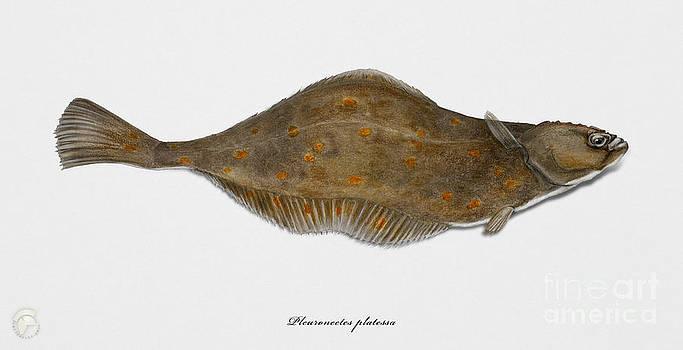 Plaice Pleuronectes platessa - flat fish Pleuronectiformes - Carrelet Plie - Solla - Punakampela by Urft Valley Art