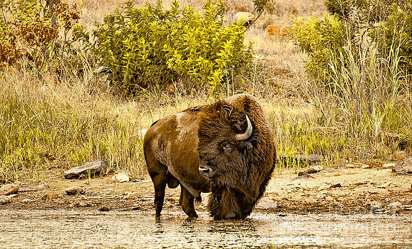 Plains Buffalo At Creekside by Robert Frederick