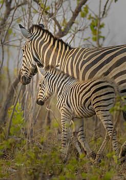 Plains Zebra Mare and Foal by Fred J Lord