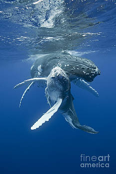 playful cute baby humpback whale and its mother in the tropical Pacifi by Brandon Cole