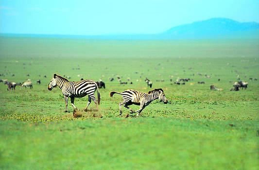 Sebastian Musial - Playfull Zebras