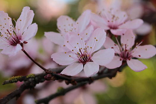 Plum Blossoms Branching Out by Connie Handscomb