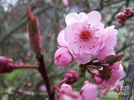 Vicki Maheu - Plum Blossom