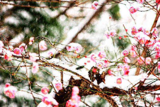 Beverly Claire Kaiya - Plum Blossoms Covered in Snow