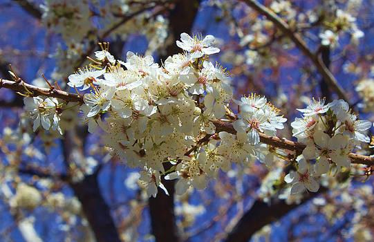 Brian King - Plum Tree Flowering