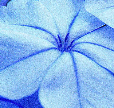 Plumbago Flower by Ari Jacobs