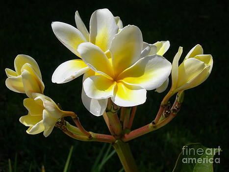 Plumeria Blossoms by Terri West