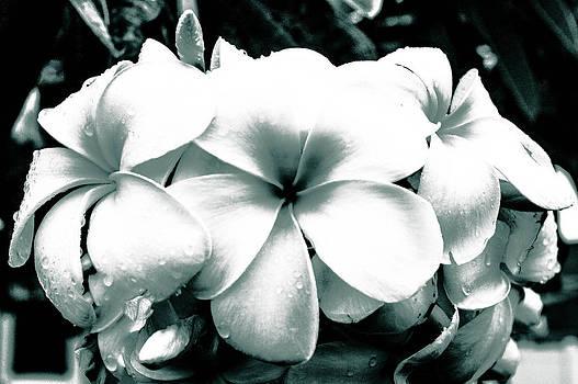 Plumeria Bunch No Color by Lisa Cortez