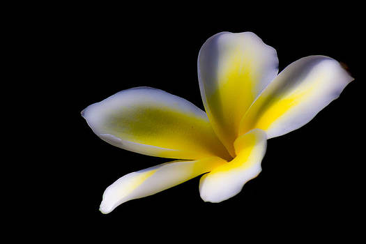 Plumeria Dream by Jonica Hall
