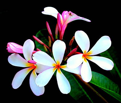Plumeria by Silvie Gunawan