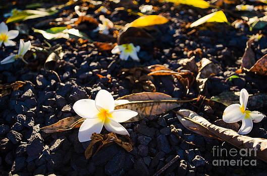 Plumeria Sunshine by Chris Ann Wiggins