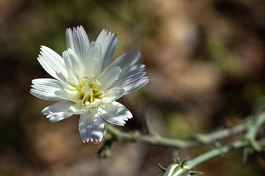 Desert Chicory by Ryan Seek