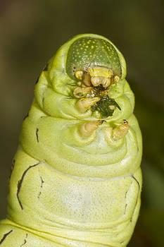 Plump Green Caterpillar by Steven Schwartzman