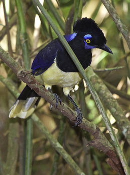 Venetia Featherstone-Witty - Plush Crested Jay Cyanocorax chrysops