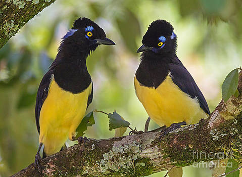 Plush-crested Jays couple by Jean-Luc Baron