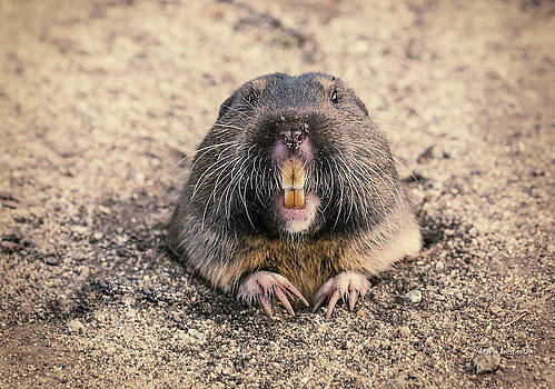 Pocket Gopher Chatting by Angela A Stanton