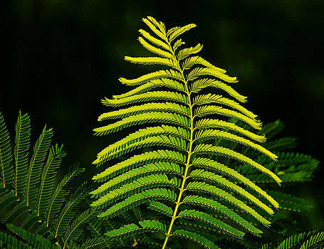 Poinciana Leaf by Lorenzo Cassina
