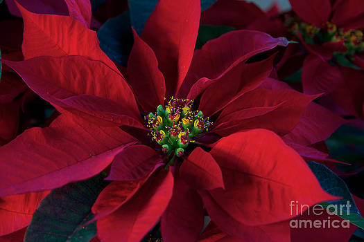 Poinsettia All Profits go to Hospice of the Calumet Area by Joanne Markiewicz