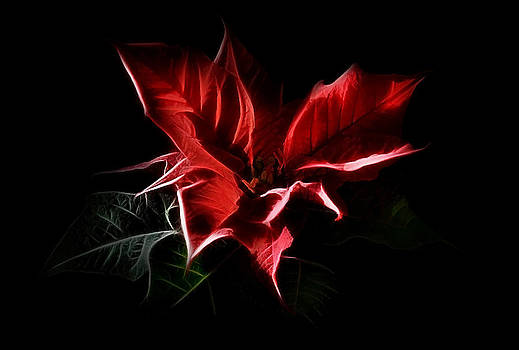 Gynt   - Poinsettia - Christmas Flower
