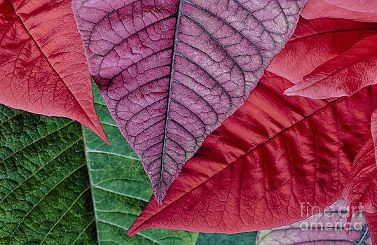 Poinsettia Leaves by Dee Johnson