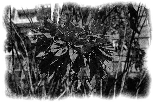 Phillip J Gordon - Poinsettia