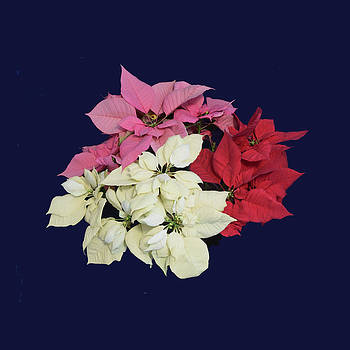 Poinsettia Tricolor II by R  Allen Swezey