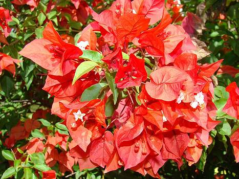 Poinsettia by Van Ness