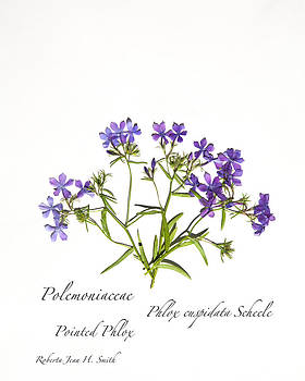 Pointed Phlox by Roberta Jean Smith