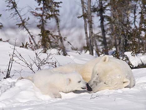 Polar bear cub kisses mother by Richard Berry