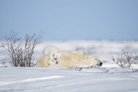 Polar bear cubs play on mothers back by Richard Berry