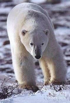 Diane Kurtz - Polar Bear
